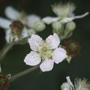 Photographie n°91091 du taxon Rubus