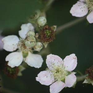 Photographie n°91092 du taxon Rubus