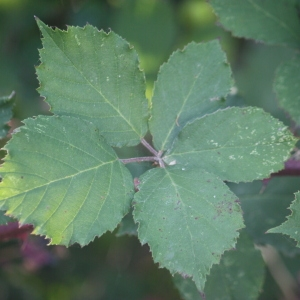 - Rubus
