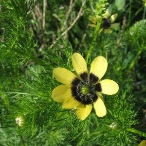 Adonis aestivalis subsp. aestivalis f. citrina (Hoffm.) Riedl