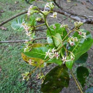 Anacardium occidentale L. (Noix de Cajou)