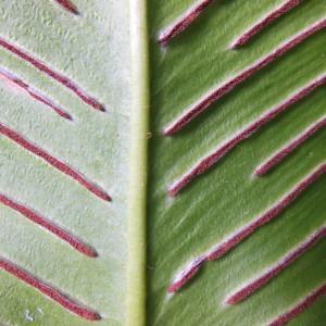 Photographie n°91184 du taxon Scolopendrium vulgare Sm. [1793]