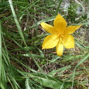 Photographie n°91232 du taxon Tulipa sylvestris L.