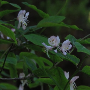 Photographie n°91266 du taxon Lonicera nigra L. [1753]