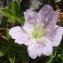 Pierre BROCHE - Geranium cinereum subsp. cinereum