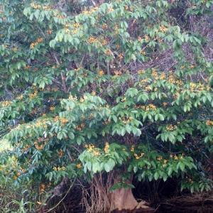 Photographie n°91325 du taxon Pterocarpus officinalis Jacq.