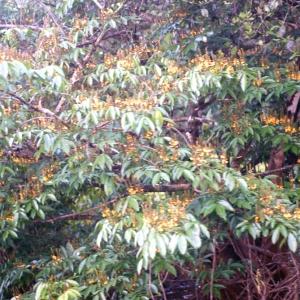Photographie n°91327 du taxon Pterocarpus officinalis Jacq.