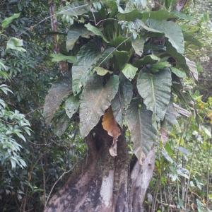 Photographie n°91328 du taxon Pterocarpus officinalis Jacq.