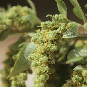 Photographie n°91400 du taxon Chenopodium ficifolium Sm.