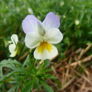 Photographie n°91405 du taxon Viola arvensis Murray [1770]