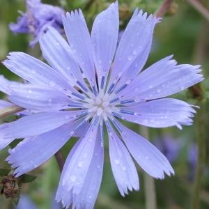 Photographie n°91500 du taxon Cichorium intybus subsp. intybus