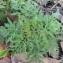 Vincent Jouhet - Ambrosia artemisiifolia L.
