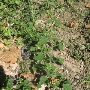 Photographie n°91523 du taxon Chenopodium album L.