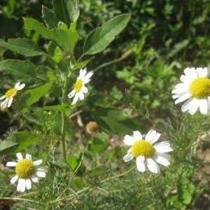 Photographie n°91532 du taxon Tripleurospermum inodorum (L.) Sch.Bip. [1844]