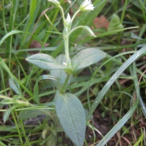 Photographie n°91534 du taxon Stellaria media (L.) Vill. [1789]