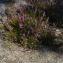 Pascal Amblard - Calluna vulgaris (L.) Hull