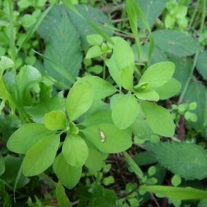 Photographie n°91574 du taxon Euphorbia peplus L. [1753]