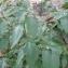 Rachel G. - Solanum nigrum L.