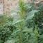 Rachel G. - Amaranthus retroflexus L.