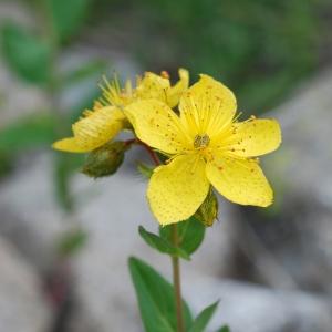 Photographie n°91583 du taxon Hypericum richeri Vill. [1779]