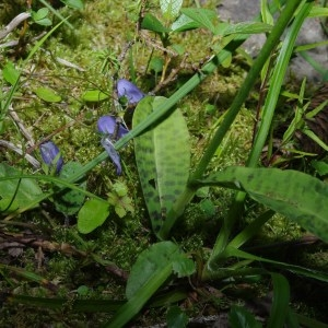 Photographie n°91608 du taxon Dactylorhiza fuchsii (Druce) Soó [1962]