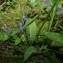 Jean-Luc Gorremans - Dactylorhiza fuchsii (Druce) Soó