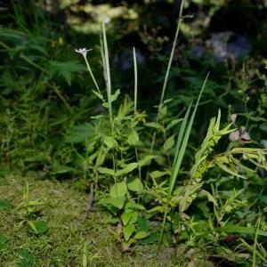 Photographie n°91611 du taxon Epilobium collinum C.C.Gmel.