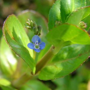 Photographie n°91632 du taxon Veronica beccabunga L.