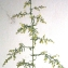 Liliane Roubaudi - Artemisia annua L. [1753]