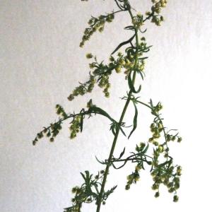 Photographie n°91674 du taxon Artemisia annua L. [1753]