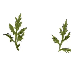 - Artemisia annua L. [1753]