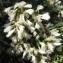 Florent Beck - Baccharis halimifolia L. [1753]