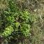 Florent Beck - Daucus carota subsp. gummifer (Syme) Hook.f. [1884]