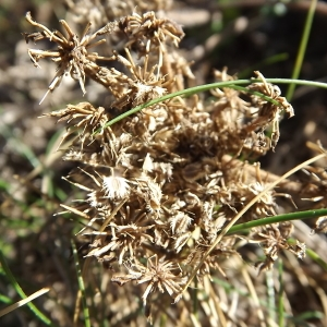 - Daucus carota subsp. gummifer (Syme) Hook.f. [1884]