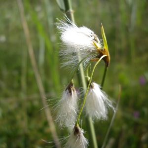 Eriophorum gracile Koch ex Roth (Linaigrette grêle)