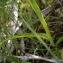 Mathilde DUVERGER - Dactylorhiza sp.