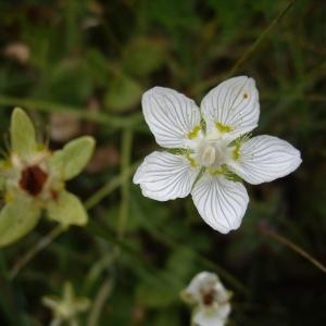 - Parnassia palustris L. [1753]