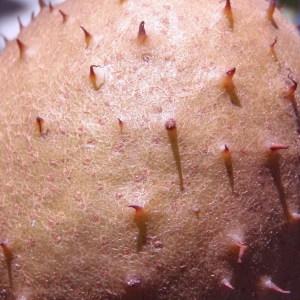 Photographie n°91777 du taxon Aesculus carnea Hayne