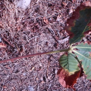 Photographie n°91778 du taxon Aesculus carnea Hayne