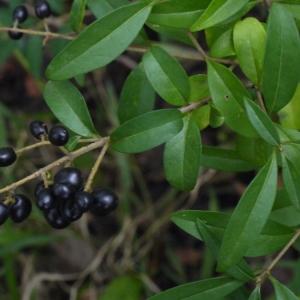 Photographie n°91795 du taxon Ligustrum vulgare L. [1753]