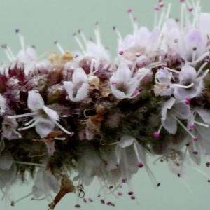 Photographie n°91838 du taxon Mentha longifolia (L.) Huds. [1762]
