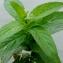 Liliane Roubaudi - Mentha longifolia (L.) Huds. [1762]