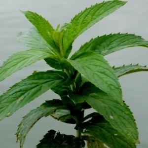 Photographie n°91840 du taxon Mentha longifolia (L.) Huds. [1762]