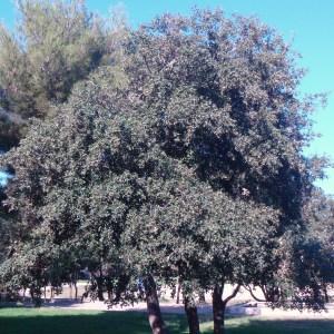 Photographie n°91855 du taxon Quercus ilex L. [1753]