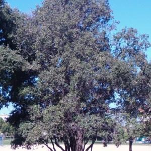 Photographie n°91856 du taxon Quercus ilex L. [1753]