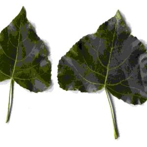 Photographie n°91868 du taxon Populus nigra L.