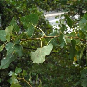 Photographie n°91869 du taxon Populus nigra L.