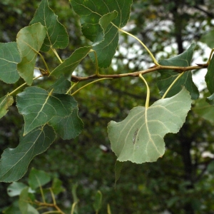 Photographie n°91870 du taxon Populus nigra L.