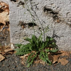 Photographie n°91952 du taxon Capsella bursa-pastoris (L.) Medik.