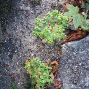 Photographie n°91966 du taxon Euphorbia peplus L. [1753]